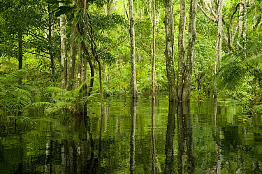 Flooded forest, habitat for the amazon river dolphin, Rio Negro, Amazonia, Brazil  -  Kevin Schafer