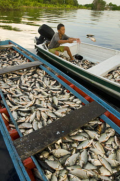 Boy sorting the afternoon's catch, Rio Negro, Amazonia, Brazil  -  Kevin Schafer