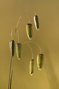 Rattlesnake Tail (Crassula barklyi) seed pods, Wilder Ranch State Park, California  -  Sebastian Kennerknecht