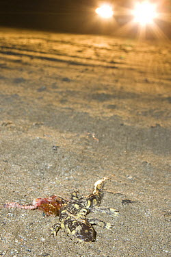 California Tiger Salamander (Ambystoma californiense) killed by car while it was migrating to its breeding pond, Monterey Bay, California  -  Sebastian Kennerknecht
