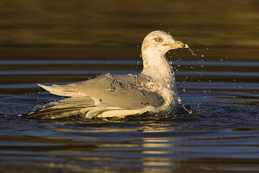 Ring-billed Gull (Larus delawarensis), in breeding plumage, bathing, Natural Bridges State Beach, Santa Cruz, California  -  Sebastian Kennerknecht