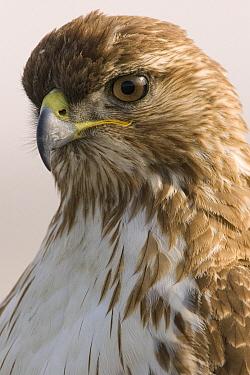 Red-tailed Hawk (Buteo jamaicensis) juvenile, Stevens Creek Shoreline Nature Study Area, Palo Alto, California  -  Sebastian Kennerknecht