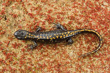 Santa Cruz Long-toed Salamander (Ambystoma macrodactylum croceum) heading to breeding pond, Aptos, Monterey Bay, California  -  Sebastian Kennerknecht