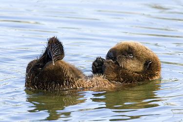 Sea Otter (Enhydra lutris) pup, Elkhorn Slough, Monterey Bay, California  -  Sebastian Kennerknecht