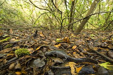 Santa Cruz Long-toed Salamander (Ambystoma macrodactylum croceum) in upland oak habitat, Aptos, Monterey Bay, California  -  Sebastian Kennerknecht