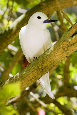 White Tern (Gygis alba) in tree, Midway Atoll, Hawaiian Leeward Islands, Hawaii  -  Sebastian Kennerknecht
