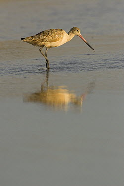 Marbled Godwit (Limosa fedoa) foraging, Zmudowski State Beach, California  -  Sebastian Kennerknecht