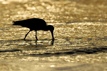 Marbled Godwit (Limosa fedoa) foraging at sunset, Zmudowski State Beach, California  -  Sebastian Kennerknecht