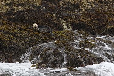 Sea Otter (Enhydra lutris) resting on shore covered with kelp, Point Lobos State Reserve, California  -  Sebastian Kennerknecht