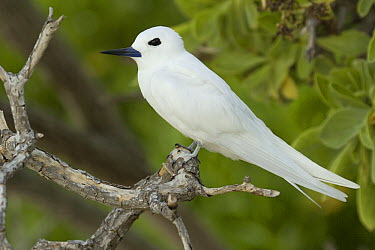 White Tern (Gygis alba), Midway Atoll, Hawaiian Leeward Islands, Hawaii  -  Sebastian Kennerknecht