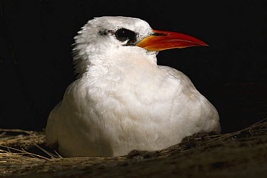 Red-tailed Tropicbird (Phaethon rubricauda) nesting, Midway Atoll, Hawaiian Leeward Islands, Hawaii  -  Sebastian Kennerknecht