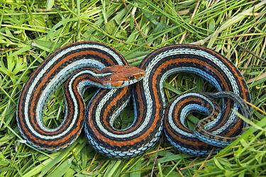 San Francisco Garter Snake (Thamnophis sirtalis tetrataenia) on pond vegetation, Pescadero, California  -  Sebastian Kennerknecht