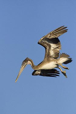 Brown Pelican (Pelecanus occidentalis) juvenile starting a dive to catch fish, Santa Cruz, Monterey Bay, California  -  Sebastian Kennerknecht