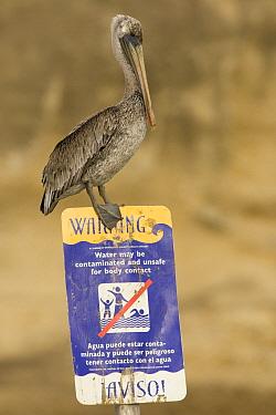 Brown Pelican (Pelecanus occidentalis) on contaminated water sign, Santa Cruz, Monterey Bay, California  -  Sebastian Kennerknecht