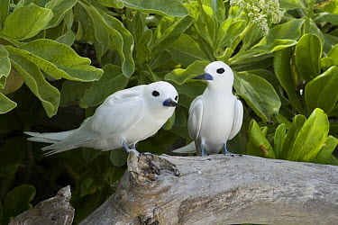 White Tern (Gygis alba) pair, Midway Atoll, Hawaiian Leeward Islands, Hawaii  -  Sebastian Kennerknecht
