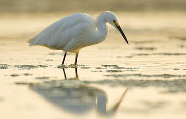 Snowy Egret (Egretta thula) foraging, Natural Bridges State Beach, Santa Cruz, California  -  Sebastian Kennerknecht
