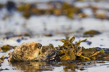 Sea Otter (Enhydra lutris) wrapped in kelp, Santa Cruz, Monterey Bay, California  -  Sebastian Kennerknecht