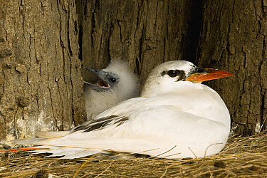 Red-tailed Tropicbird (Phaethon rubricauda) with chick, Midway Atoll, Hawaiian Leeward Islands, Hawaii  -  Sebastian Kennerknecht