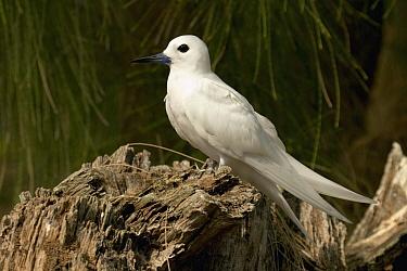 White Tern (Gygis alba), Midway Atoll, Hawaiian Leeward Islands, Hawaii  -  Sebastian Kennerknecht