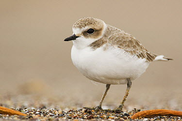 Snowy Plover (Charadrius nivosus) in winter plumage on beach, Point Reyes National Seashore, California  -  Sebastian Kennerknecht
