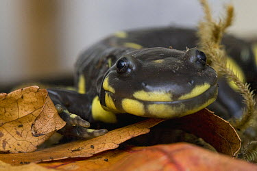 California Tiger Salamander (Ambystoma californiense) portrait, Monterey Bay, California  -  Sebastian Kennerknecht