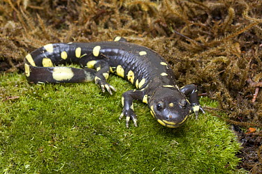 California Tiger Salamander (Ambystoma californiense), Monterey Bay, California  -  Sebastian Kennerknecht