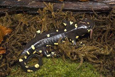 California Tiger Salamander (Ambystoma californiense) eating worm, Monterey Bay, California  -  Sebastian Kennerknecht