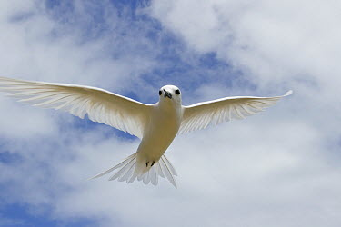 White Tern (Gygis alba) flying, Midway Atoll, Hawaiian Leeward Islands, Hawaii  -  Sebastian Kennerknecht
