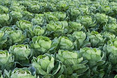Cabbage (Brassica oleracea) field, Santa Cruz, Monterey Bay, California  -  Sebastian Kennerknecht
