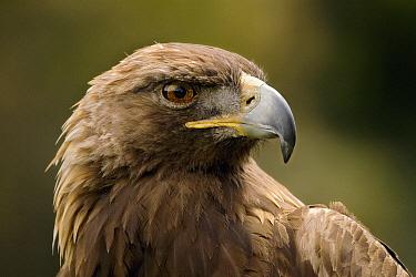 Golden Eagle (Aquila chrysaetos) portrait, San Francisco, California  -  Sebastian Kennerknecht