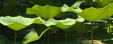 Lotus Lily (Nelumbo sp) leaves in pond, Waimea Valley, Oahu, Hawaii  -  Sebastian Kennerknecht