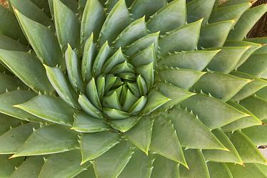 Spiral Aloe (Aloe polyphylla), UCSC Arboretum, Santa Cruz, Monterey Bay, California  -  Sebastian Kennerknecht