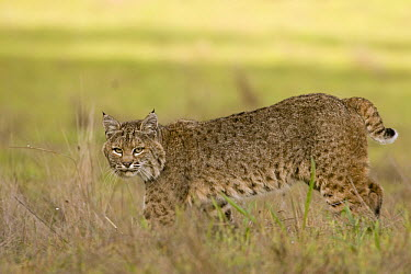 Bobcat (Lynx rufus) female walking, Santa Cruz, Monterey Bay, California  -  Sebastian Kennerknecht