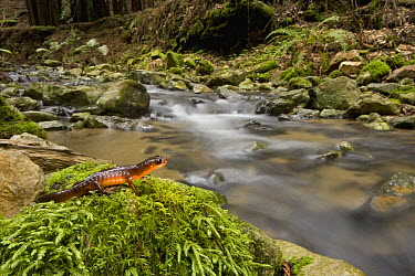 Yellow-eyed Ensatina (Ensatina eschscholtzii xanthoptica) salamander near creek in Coast Redwood (Sequoia sempervirens) forest, Wilder Ranch State Park, California  -  Sebastian Kennerknecht