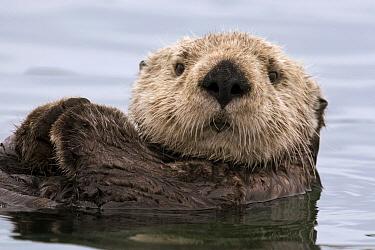 Sea Otter (Enhydra lutris), Elkhorn Slough, Monterey Bay, California  -  Sebastian Kennerknecht