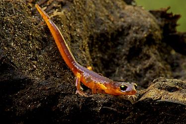Yellow-eyed Ensatina (Ensatina eschscholtzii xanthoptica) male salamander, Wilder Ranch State Park, California  -  Sebastian Kennerknecht