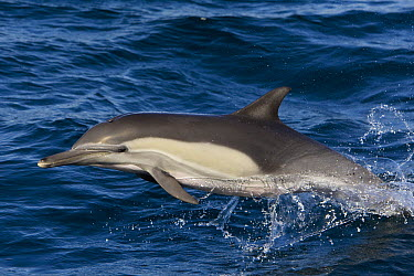Long-beaked Common Dolphin (Delphinus capensis) jumping, Baja California, Mexico  -  Suzi Eszterhas