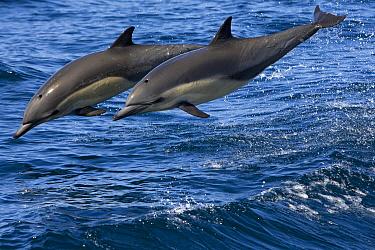 Common Dolphin (Delphinus delphis) pair jumping, Baja California, Mexico  -  Suzi Eszterhas