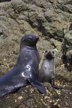 Guadalupe Fur Seal (Arctocephalus townsendi) mother and pup, San Benito Island, Baja California, Mexico  -  Suzi Eszterhas