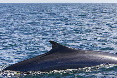 Fin Whale (Balaenoptera physalus) surfacing, Baja California, Mexico  -  Suzi Eszterhas