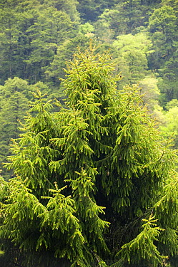 Sikkim Spruce (Picea spinolosa) tree, Dochu La Pass, Bhutan  -  Kevin Schafer