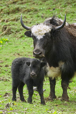 Yak (Bos grunniens) mother and calf, Pele La Pass, Bhutan  -  Kevin Schafer