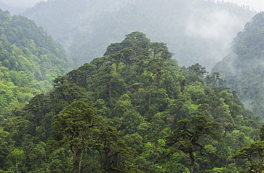 Old growth forest, Black Mountain National Park, Bhutan  -  Kevin Schafer
