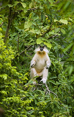 Golden Langur (Trachypithecus geei) in tree, Shemgang, Bhutan  -  Kevin Schafer