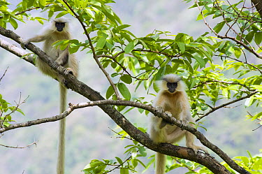 Golden Langur (Trachypithecus geei) pair in tree, Shemgang, Bhutan  -  Kevin Schafer