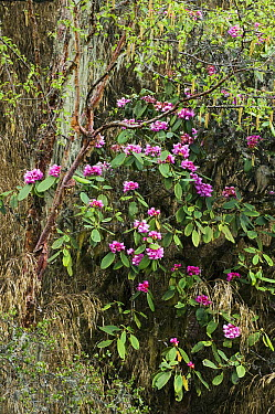Rhododendron (Rhododendron kesangiae) flowering, Yotong La Pass, Bhutan  -  Kevin Schafer