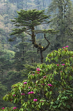 Rhododendron (Rhododendron kesangiae) flowering and Fir (Abies sp) tree, Yotong La Pass, Bhutan  -  Kevin Schafer