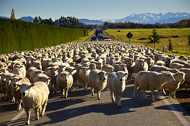Domestic Sheep (Ovis aries) flock holds up traffic during peak hour in the South Island, Geraldine, New Zealand  -  Colin Monteath/ Hedgehog House