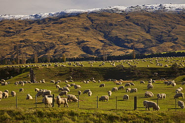 Domestic Sheep (Ovis aries) flock grazing under Rock and Pillar Range, Central Otago, New Zealand  -  Colin Monteath/ Hedgehog House