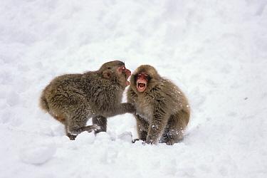 Japanese Macaque (Macaca fuscata) young playing, Japanese Alps, Japan  -  Konrad Wothe